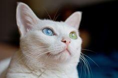 Odd-eye cat