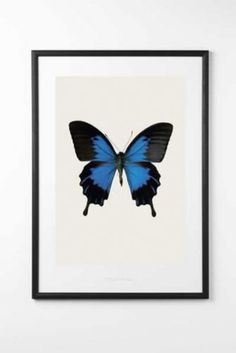 Papilio ulysses telegonus of hagedornhagen now on JUNIQE! Design Shop, Sharp Photo, Rockett St George, Lit Wallpaper, Butterfly Art, Butterfly Images, Kitchen Art, Shadow Box, Norman