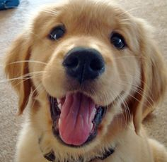 Look at that puppy smile!!! I adore this photo! <3 {Puppy} {Pet} {Dog} {Golden Retriever} {Animal}