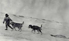Eskimo hunter and dogs hauling seal