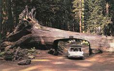 Google Image Result for http://www.guideoftravels.com/wp-content/uploads/2011/06/Redwood-Forests.jpg