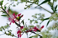 #SPRING IS IN THE #AIR - #Leptospermum #Photography Quality Prints & Cards: http://kaye-menner.artistwebsites.com/featured/spring-is-in-the-air-kaye-menner.html  -