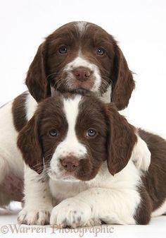 Springer Spaniel puppies, 6 weeks old. Warren Photograph