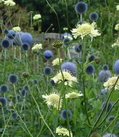:: Echinops bannaticus 'Taplow Blue' - Ball tistel :: Design med stauder :: B . Meadow Garden, Dry Garden, Moon Garden, Cottage Garden Design, Flower Garden Design, Garden Landscape Design, Beautiful Gardens, Beautiful Flowers, Herbaceous Border