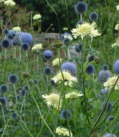 :: Echinops bannaticus 'Taplow Blue' - Ball tistel :: Design med stauder :: B . Meadow Garden, Dry Garden, Moon Garden, Cottage Garden Design, Flower Garden Design, Garden Landscape Design, Beautiful Gardens, Beautiful Flowers, Herbaceous Border