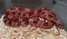 Diffused Corn Snake by Mesozoic Reptiles - MorphMarket USA Corn Snakes For Sale, Reptiles, Squirrel, Diffuser, Usa, Plants, Animals, Colorful Snakes, Animales