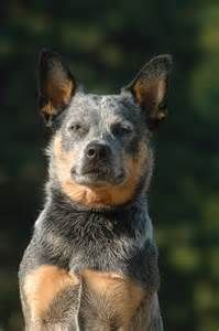 Willa the Australian Cattle Dog Australian Cattle Dog, Australian Dog Breeds, Aussie Cattle Dog, Cattle Dogs, Animals And Pets, Cute Animals, Blue Heelers, Dog Rules, Blue Dog