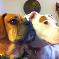 A puggle and a pit bull can be best of friends!