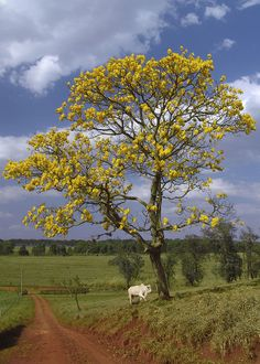 Araguaney (Tabebuia Chrysantha), National Tree of Venezuela - It turns all yellow Obelisk, Street Trees, Tree Quilt, Evergreen Trees, Le Far West, Flowering Trees, Amazing Nature, Trees To Plant, Landscape Art
