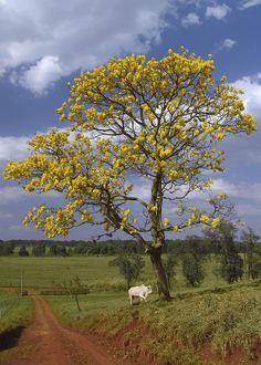Venezuela, El araguaney, árbol nacional.