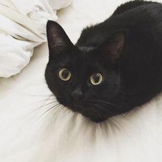Gato negro - cats are life ♡ - Gatos I Love Cats, Crazy Cats, Cute Cats, Cute Baby Animals, Animals And Pets, Funny Animals, Meme Chat, Animal Original, Arte Game Of Thrones