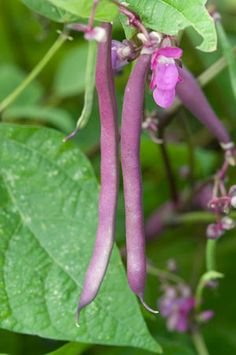 'Purple Dove' snap beans.