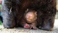Baby wombat born at Ballarat wildlife park, Victoria, Australia. Wombat super-mum Coco has given keepers cause to celebrate in the birth of her third joey, as it is rare that a male and female wombat will breed and stay together this long. Photograph: Newspix/Rex Features