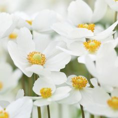 Buy snowdrop anemony, snowdrop windflower Anemone sylvestris: Delivery by Crocus.co.uk