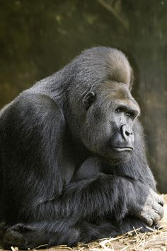 lincoln park zoo animals image search results Long ago Bushman the Gorilla was the star at the zoo