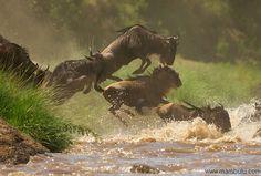 Rivieroversteek Gnoes in Serengeti #Tanzania # Serengeti #Great Migration http://www.mambulu.com/safari/tanzania17.html