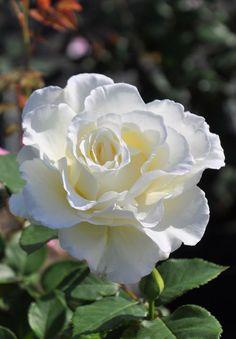 Beautiful Rose Flowers, Pretty Roses, Flowers Nature, Exotic Flowers, Pretty Flowers, White Flowers, One Rose, Coming Up Roses, No Rain