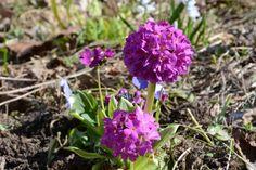 Palloesikko, uusi tuttavuus   Vesan viherpiperryskuvat – puutarha kukkii
