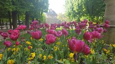 Les Tulips de Jardin de Luxembourg