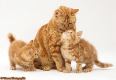 Group of: Red tabby British Shorthair mother cat and kittens photo ...