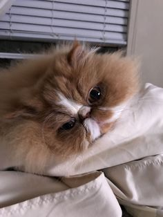 Persian Cat Gallery - Cat's Nine Lives Cute Cats And Kittens, I Love Cats, Crazy Cats, Cool Cats, Kittens Cutest, Beautiful Cats, Animals Beautiful, Cute Animals, Persa Cat