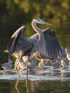Everglades  Great Blue Heron (Ardea herodias)