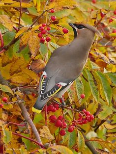 Bohemian Waxwing (Bombycilla garrulus) videos, photos and sound recordings | the Internet Bird Collection | HBW Alive
