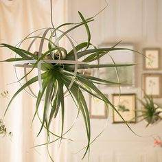 Giant Tillandsia, Large in Garden Plants + Flowers at Terrain