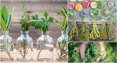 Discover how to effectively harvest and preserve your fresh herbs to avoid waste and ensure you have a ready supply of flavorful herbs all year. Preserve Fresh Herbs, All Year Round, Basil Leaves, Growing Herbs, Preserving Food, Preserves, The Secret, Harvest, Home And Garden