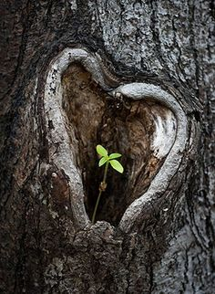 Week in Wildlife: Tree with heart-shape knothole - A young plant sprouts out of a heart-shaped knothole in a Tilia tree in Lieberose, Germany Patrick Pleul/EPA