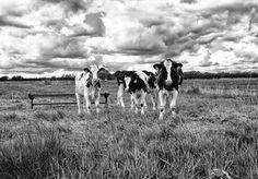 Koeien in het prachtige Friese landschap met Hollandse luchten