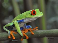 Baby Animals, Cute Animals, Wild Animals, Red Eyed Tree Frog, Tropical Animals, Cute Frogs, Pet Rocks, Frog And Toad, Reptiles And Amphibians