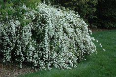 Double Reeves Spirea (Spiraea cantoniensis 'Lanceata') at Stein's Garden & Home