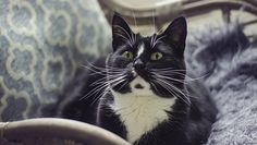 When it comes to facts about tuxies, there might be plenty you don't know, even if you have a tuxedo cat snuggling up with you at home right now. Luckily, CatTime is full of cat facts to help you learn and appreciate our feline friends even more! Cute Kitten Gif, Cat Gif, Kittens Cutest, Animals And Pets, Baby Animals, Cute Animals, Funny Cat Compilation, Funny Cats And Dogs, Cat Facts