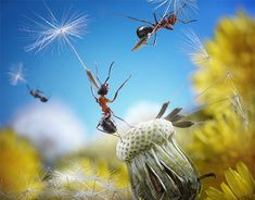 Staged photo with live ants, but I like to think they're really floating away on those dandelion seeds...