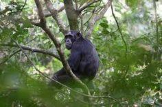 ... de las epidemias. La especie está en peligro de extinción y por ello se encuentra bajo protección legal en Uganda, un país importante para la ...