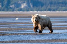 Brown bear in Katmai National Park #Alaska
