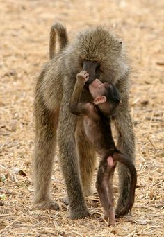 Baboons--mother & child