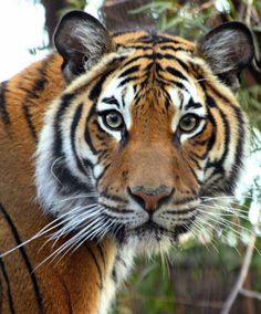 Tigers (Malayan) Facts Information, Pictures and Videos - Wildlife Planet