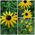Black Eyed Susans in the garden, native perennial, full sun garden plant