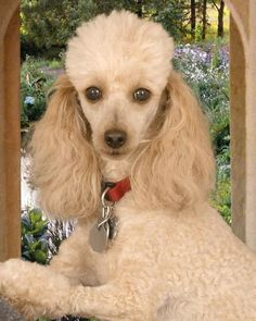 Pictures of Miniature Poodle Dog Breed