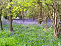 Top 5 places to find Bluebells in Epping Forest including Chingford, Wanstead, Loughton and Upshire