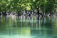 Eery mangrove forests - some of the world's oldest - on Lampi Island in Myanmar's Mergui Archipelago.