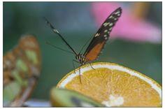 butterfly drinking juice