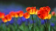 Fluorescent Tulip - Fluorescent Tulip. Took it in strong back light.
