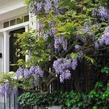 Call for the perfect plants that thrive in your area. Find the ideal rose bushes, privacy trees, flowering shrubs and patio plants! Patio Fruit Trees, Patio Plants, Wisteria Tree, Purple Wisteria, Backyard Pergola, Pergola Shade, Pergola Ideas, Pergola Kits, Pergola Plans