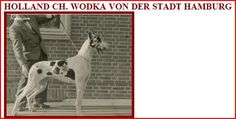 CH Wodka vd Stadt-Hamburg, harl, born 1952. Paternal grandparents were a fawn and a harl. Used for breeding by the famous Carl Daniels (the DDC Studbook Chairman) and Willi Glittenberg (an official on the Judges committee). Sired 3 out-freaking-standing harl males - CH I.W. Harper vd Stadt-Hamburg, Jagla vd Stadt-Hamburg and one of Germany's favorite studs Marko vd Kreuzchanze 44107. Those three harls made their mark and influenced the breed in both the United States and Germany.