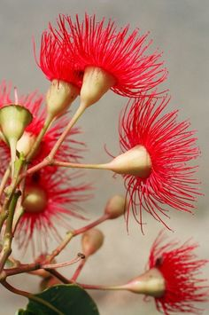 Handmade Greeting Cards, Handmade Greeting Cards of Australian Flowers, Buy Multi Packs Online and save Australian Native Garden, Australian Native Flowers, Australian Plants, Australian Bush, Unusual Flowers, Beautiful Flowers, Tropical Flowers, Red Flowers, Australian Wildflowers