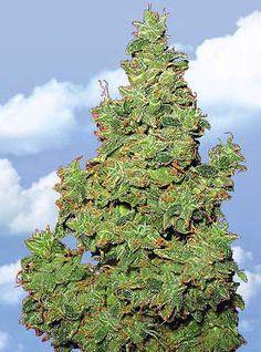 Flying Dutchmen Feminized Cannabis Seeds - Voyager