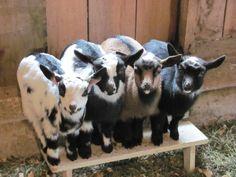 dwarf nigerian goats say cheeeeeese! Mini Goats, Cute Goats, Baby Goats, Cute Baby Animals, Farm Animals, Animals And Pets, Nigerian Dwarf Goats, Raising Goats, Softies